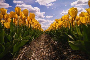 Gelbe Tulpen in voller Blüte im Frühling von Schram Fotografie