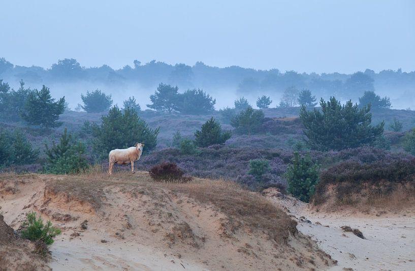 Sheep on the sand dune and flowering heather van Olha Rohulya
