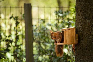 Garten Eichhörnchen von Sran Vld Fotografie