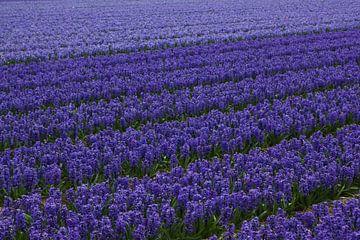Blumen der Niederlande, ein Blumenzwiebelfeld mit Hyazinthen von Discover Dutch Nature