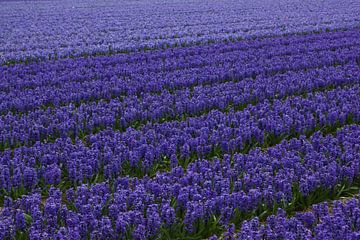 Prachtig hollands bollenveld met hyacinthen van Discover Dutch Nature