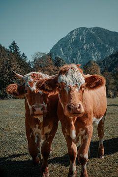 Österreichische Kühe auf der Wiese von Dennis van den Worm