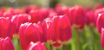 Roze tulpen in veld van Michael van Emde Boas