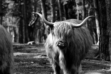 Schottischer Hochlandbewohner von Emma Wilms