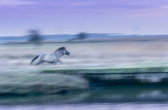 Konikpaard in galop van Xander Haenen
