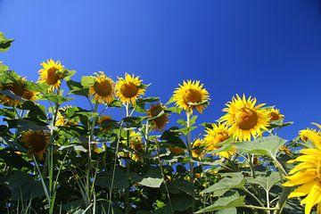 Des tournesols devant un ciel bleu sur Karina Baumgart