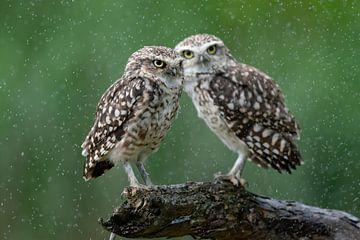 Zwei Eulen im Regen. von Albert Beukhof