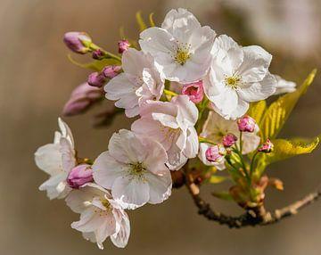 Rosa Blüte von Marjolein van Middelkoop