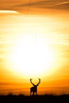 Cerf rouge avant le coucher du soleil. sur Jeroen Mondria