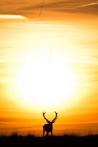 Edelhert voor zonsondegang. van Jeroen Mondria