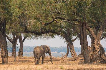 Afrikaanse olifant van Francis Dost