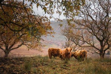 Schottisches Hochlandrind von Ton Drijfhamer