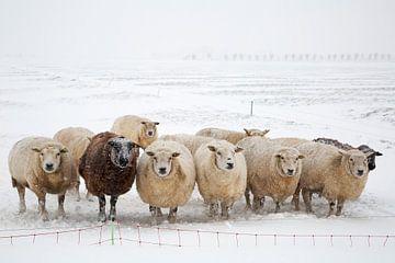 Schapen in de sneeuw 2 van Henk Bogaard