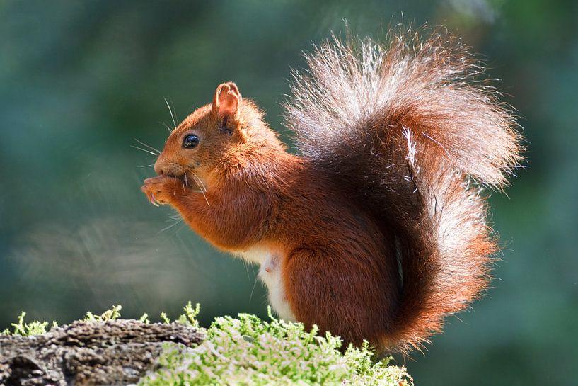 eekhoorn van Pim Leijen