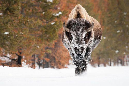Amerikaanse bizon van Caroline Piek