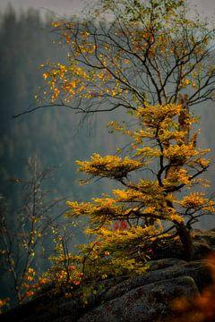 Herfst licht. Bladeren kleuren. Boom. Geel. Hars. van Dieter Ludorf