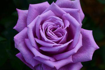 violette Rose Mamy Blue von C. Nass