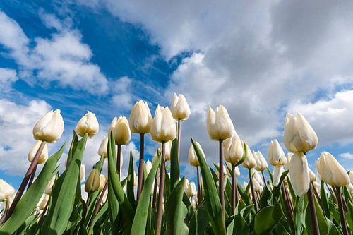 Tulpen onder witte wolken en blauwe lucht