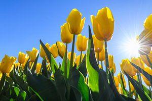 Gele bloeiende tulpen met een felle zon in de achtergrond
