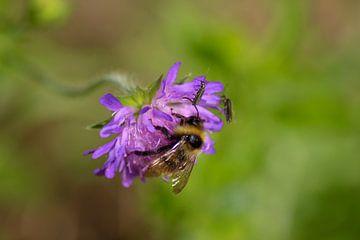 Biene in violetter Blume von Shirley Douwstra