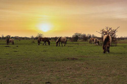 Wilde paarden tijdens de zonsondergang.