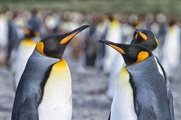 Pingouins royaux sur Angelika Stern