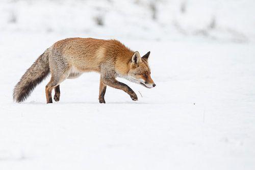 Vos lopend over de sneeuw van