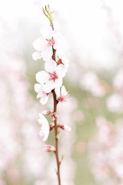 Blossom II | Blüte | Blume | Rosa | Frühling | Natur von Mirjam Broekhof