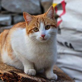 Tessiner Katze - Vogorno - Tessin - Schweiz von Felina Photography