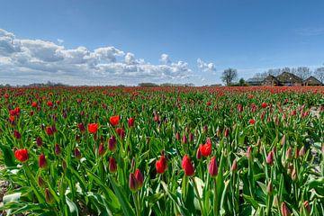 Tulpen nabij kloosterburen von Marnefoto .nl