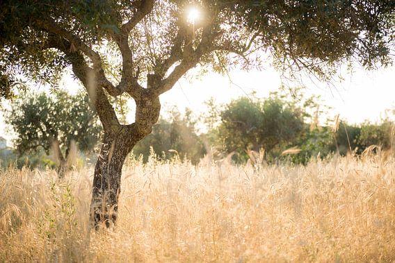Zon door olijfboom