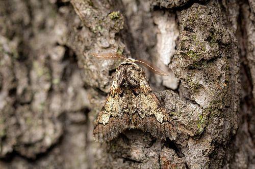 Camouflage   vlinder op boomschors