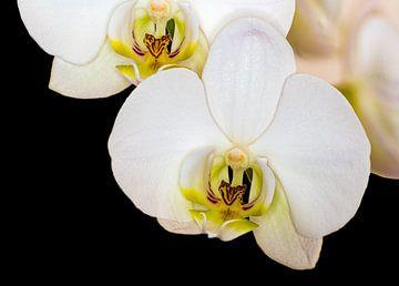 Witte orchidee met scherpte diepte van Dennis Carette