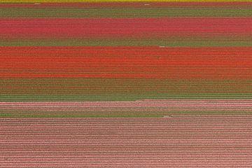 Luchtfoto horizontale lijnen in kleurig bollenveld van aerovista luchtfotografie