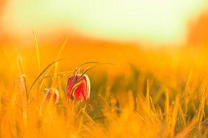 Wilde Kievitsbloem in een weiland tijdens zonopgang in het voorjaar