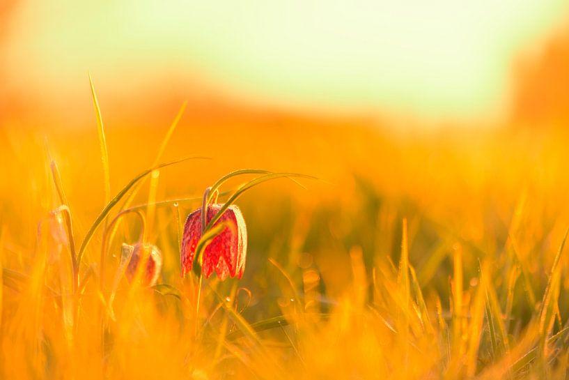 Wilde Kievitsbloem in een weiland tijdens zonopgang in het voorjaar van Sjoerd van der Wal
