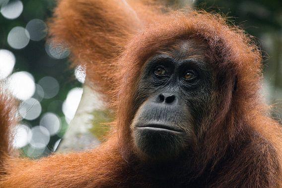 Orang-oetan in de jungle van Sumatra, Indonesië