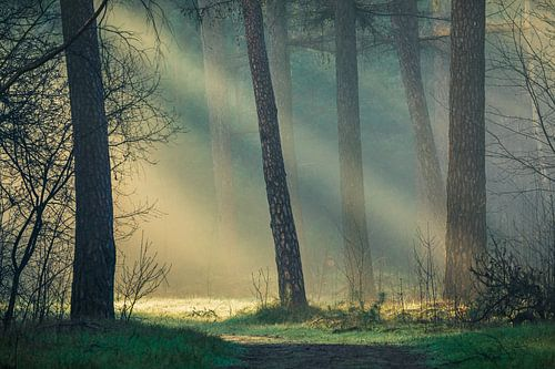Prachtig ochtendlicht in de bossen van de Utrechtse Heuvelrug, Nederland