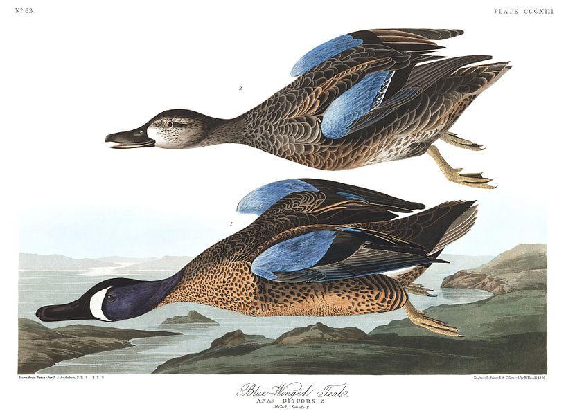Blauwvleugeltaling van Birds of America