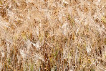 champ de céréales sur Jim van Iterson