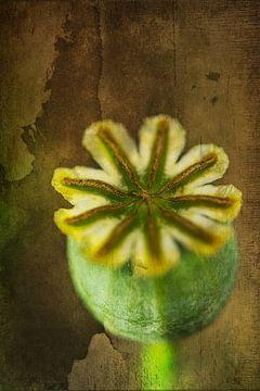 uitgebloeide bloemknop van de papaver van Rietje Bulthuis