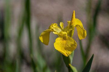 Gelbe Iris von Ingrid Aanen
