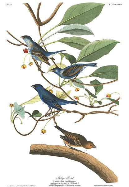 Indigogors van Birds of America