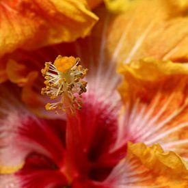 Macro van een rode oranje hibiscus van W J Kok