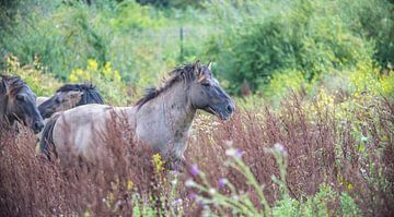 Konik paard in de wind van Ans Bastiaanssen