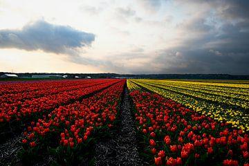 tulpenfeld in noordwijkerhout von Marvin Van Haasen