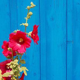 Stokroos voor blauwe muur van Margreet Frowijn