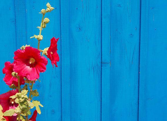 Stokroos voor blauwe muur