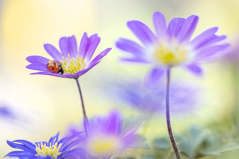 Lieveheersbeestje op paarse anemonen van Teuni's Dreams of Reality