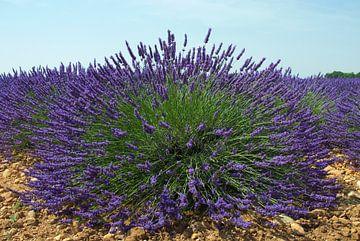Lavendelvelden in de Provence van Willem Holle WHOriginal Fotografie